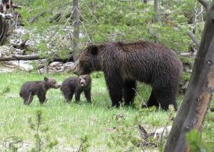 WY_Bears